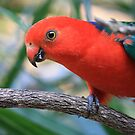 Mountain or King Parrot - Male by aussiebushstick