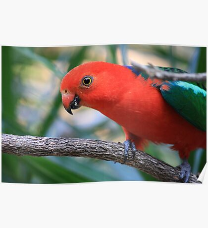 Mountain or King Parrot - Male Poster