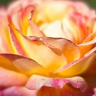 Rest in piece my friend - All Proceeds to Canadian Breast Cancer Foundation - Peace Roses by Yannik Hay