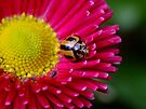 Striped Ladybird Beetle - Micraspis frenata by Gabrielle  Lees