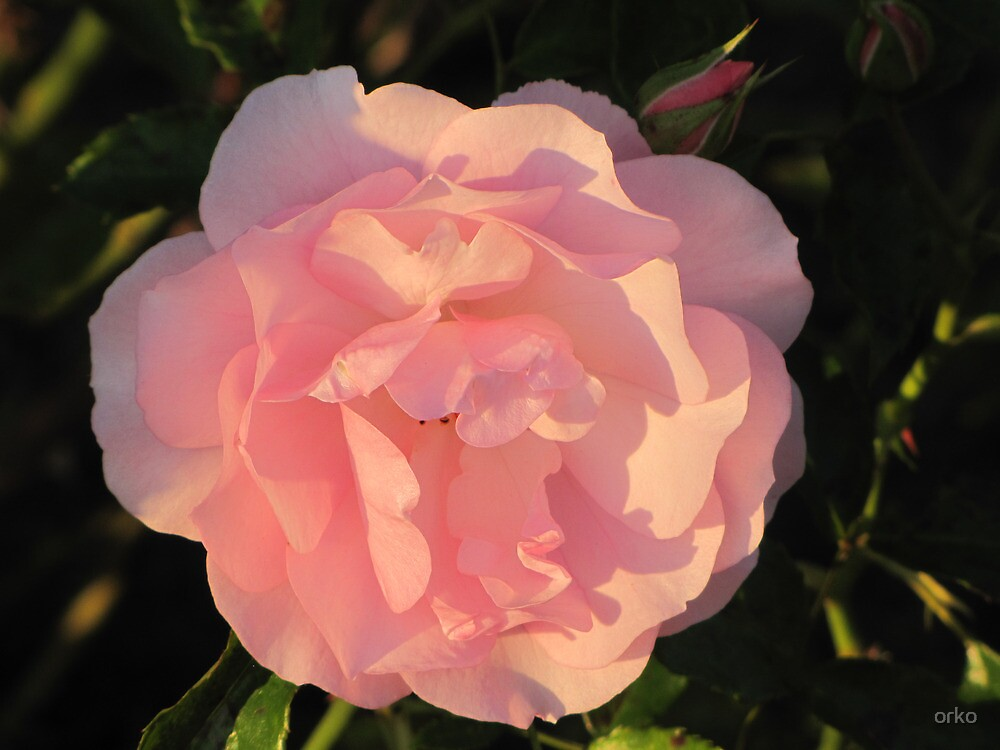Rose in the Evening Sun by orko