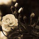 Black Rose by vasu