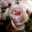 A Rose is a Rose by Barbara Wyeth