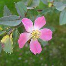 Pink Rose by Alexandra Strömgren