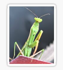 Praying Mantis Macro Photo Sticker