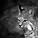 Bob Cat  by Tim Wright