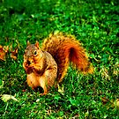 squirrel by CriGa Photography