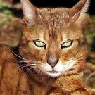 "Bengal Cat - ""Peel Zoo ~ Western Australia"" by Toni Kane"