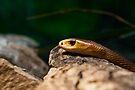 Oxyuranus scutellatus by Jason Asher