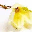 White Magnolia by Margi