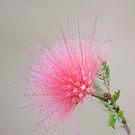 Pink  by Jenny Dean
