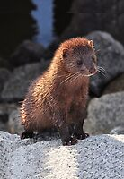The Poser (Mink) by Kathy Baccari