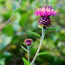 Meadow Thistle by Susan Dailey