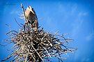 Great Blue Heron Nesting by Yannik Hay