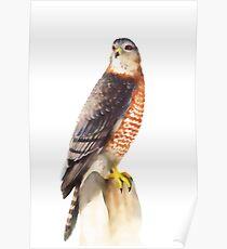 Sharp Shinned Hawk (Accipiter striatus) Poster