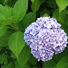 Peaceful Hydrangea by BlueMoonRose