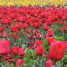 Panoramic Red to Yellow - Floriade 2011 by Kelly Robinson