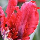 Red Parrot Tulip - Floriade 2011 by Kelly Robinson
