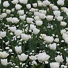 Field of white - Floriade 2011 by Kelly Robinson