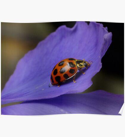 Common Spotted Ladybird - Harmonia conformis   Poster