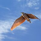 Night Heron in flight. by trevorb