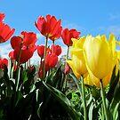 Elegant Tulips by Akrotiri