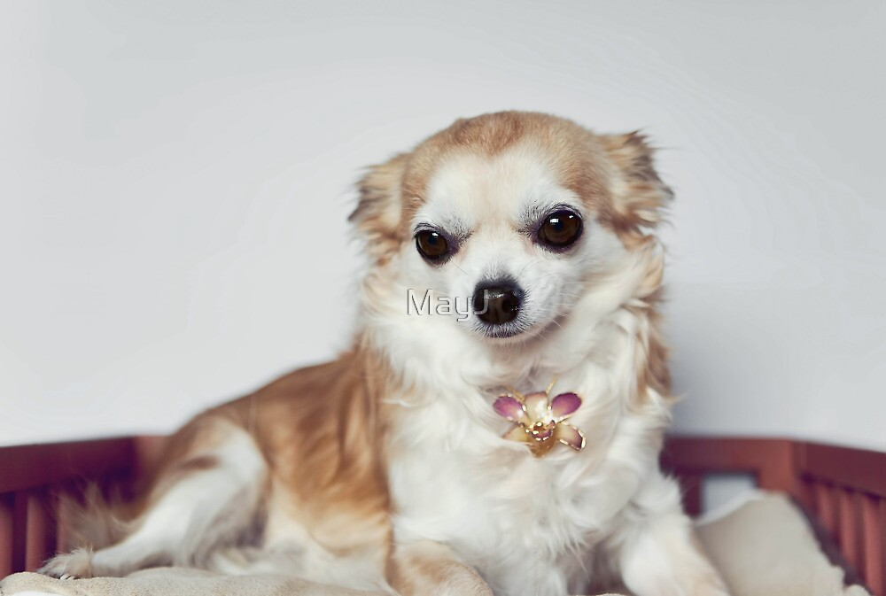 Chihuahua wearing necklace. by MayJ