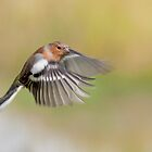 Chaffinch ~ Inflight by M.S. Photography/Art