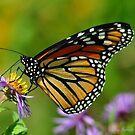 Monarch on Aster by Nancy Barrett