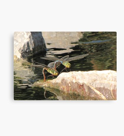 Dragonfly~ Common Green Darner (Copulating) Canvas Print