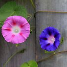 Morning Glory by NewfieKeith