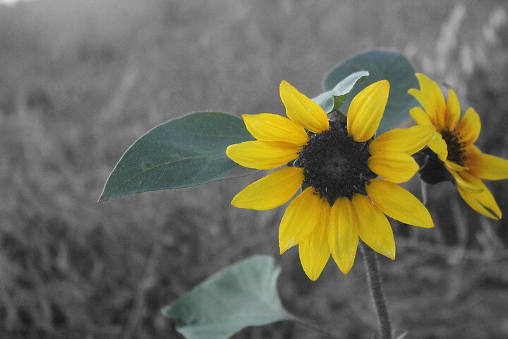 Black & White Flower by rentrules123