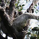 Sleeping Koala (Phascolarctos cinereus) - Cleland Conservation Park, South Australia by Dan Monceaux