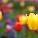 Yellow tulip by Ashlee Betteridge