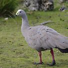 Cape Barren Goose. by Adam Burke