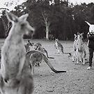 Le lapin et le kangourou by Naomi Frost