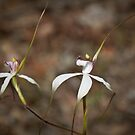 White Spider Orchid (caledenia patersoni) by pennyswork
