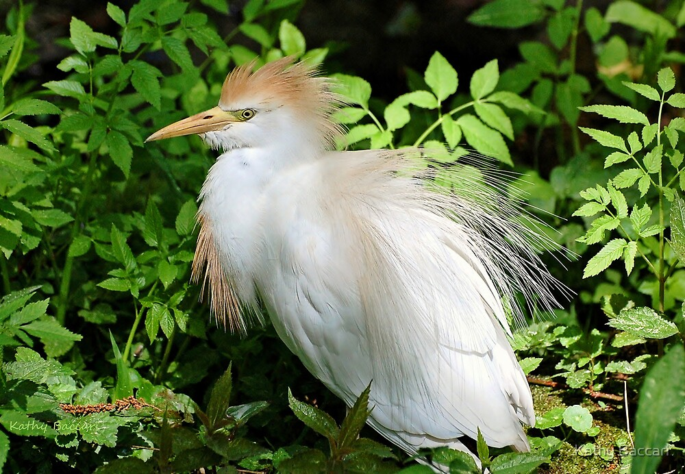 Cattle Egret With Breeding Colors by Kathy Baccari
