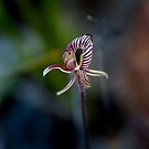 Zebra Orchid by pennyswork