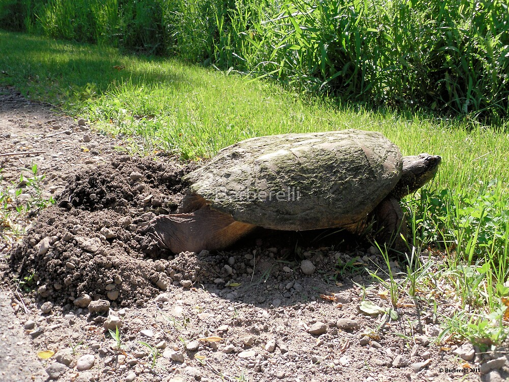 Snapping Turtle burying her eggs by Barberelli