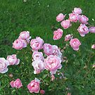 Roses Everywhere by orko