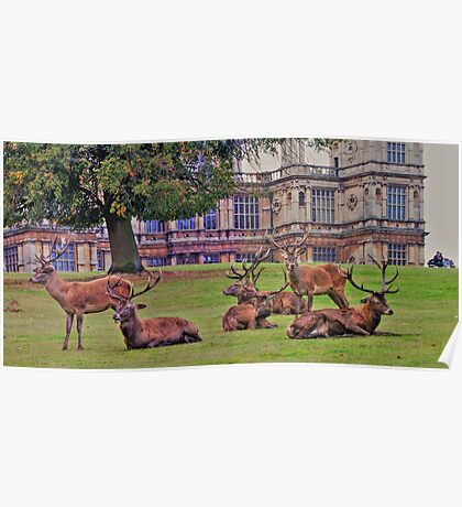 Stags Wollaton Park Poster
