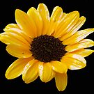 Shiny Sunflower. by Lee d'Entremont