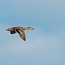 Mallard Duck in Flight by Michael Mill