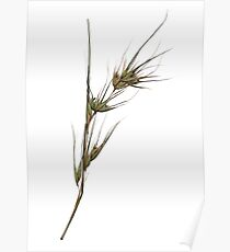 seed heads, native grass - scanogram Poster