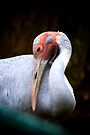 Graceful Brolga by Renee Hubbard Fine Art Photography