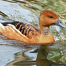 Fulvous Whistling Duck by Kathy Baccari