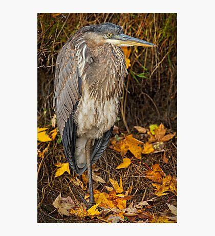 Fall Heron Photographic Print