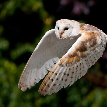 barn owl by Grandalf