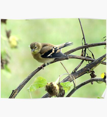 Little Goldfinch Poster